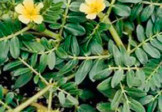 Organic Gokshura