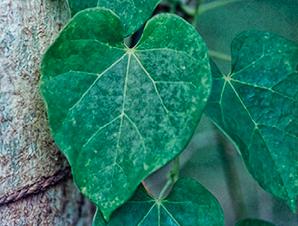 guduchi-tinospora-cordifolia