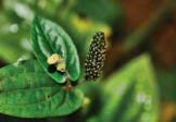 Organic Pippali